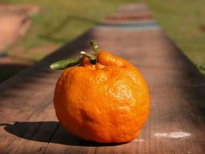 Bergamota Ponkan
